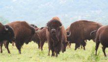 buffalo-1436182_1280